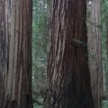 Redwoods 960x350