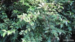 Huckleberry - Leonora Enking